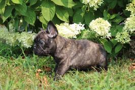 LuLu french bulldog for sale in Kansas City (17).JPG