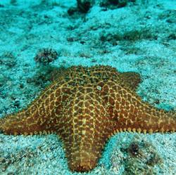 Étoile de mer Guadeloupe Tropicalsub Diving