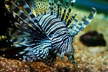 Tropicalsub Diving informations Lion fish Guadeloupe