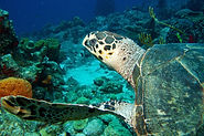 Tropicalsub Diving - Turtle