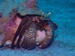 Bernard l'ermite Tropicalsub Diving