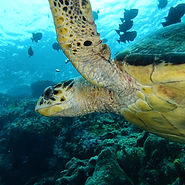 tortue Tropicalsub Diving Guadeloupe
