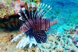Tropicalsub diving pterois volitans
