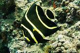 poisson ange français juvénile