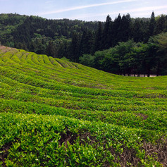 Boseong Tea Plantations