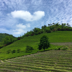 Boseon (plantations de thé)