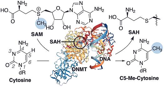 DNA methylation.tiff