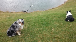 Farm Dogs and Ducks