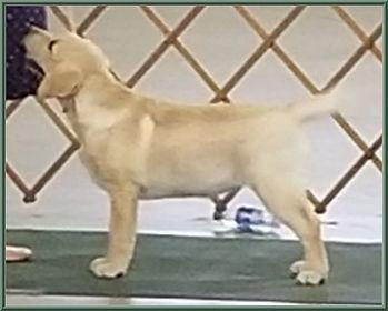 Pedigree Sloane RDLRC Puppy Show with Na