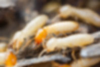 Close up of termites