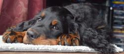 PuppySetter