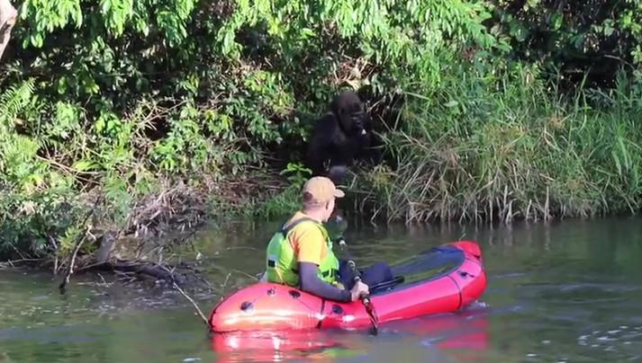 Dave Lucas - Packrafting past a western lowland gorilla. - Gabon