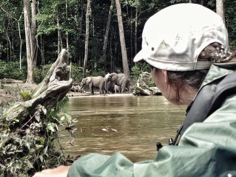 Wild forest elephant. - Gabon