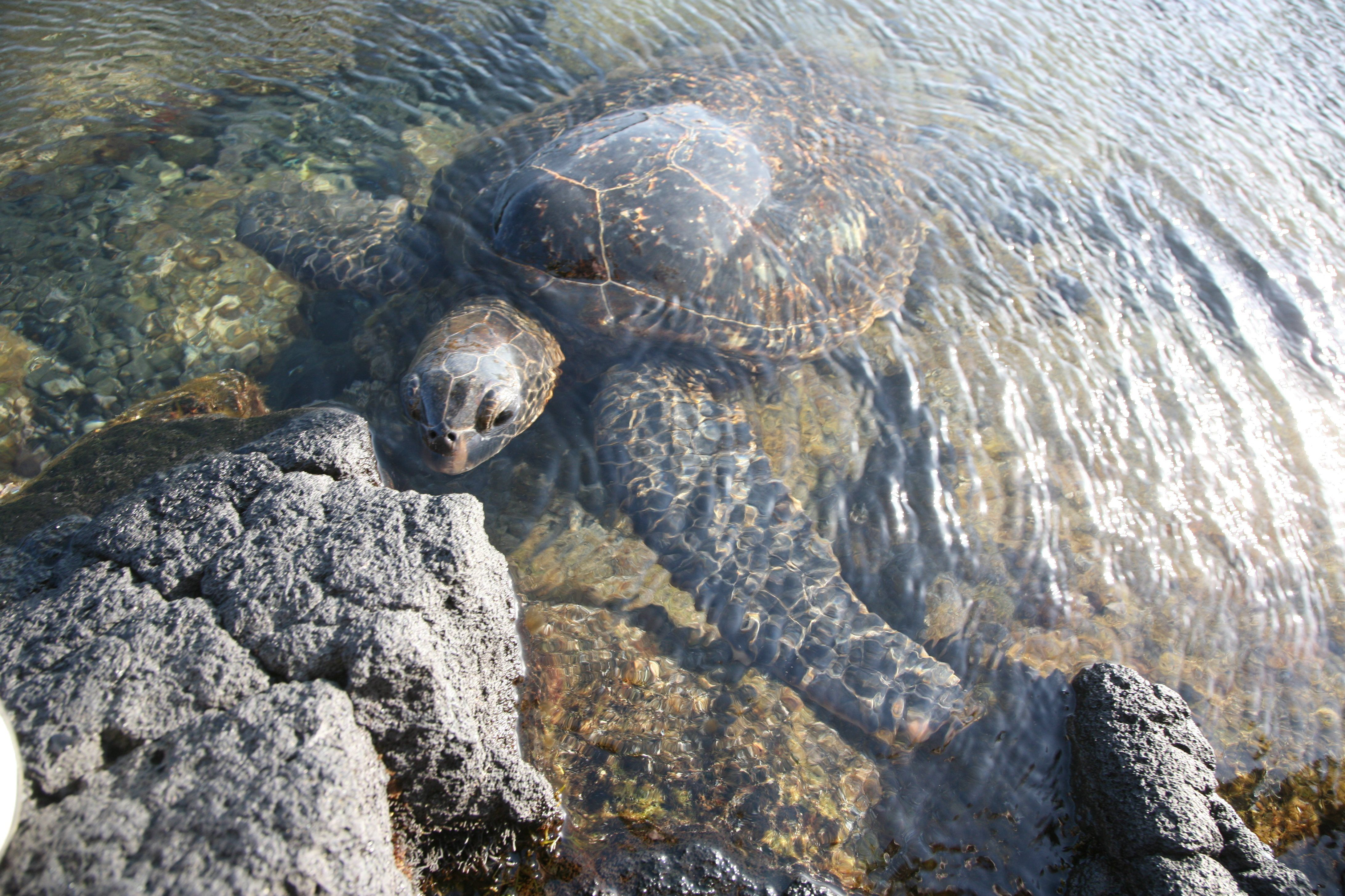 hawaii turtles vacation