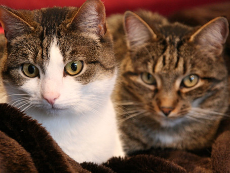 Einzelhaltung oder Mehrkatzenhaushalt?