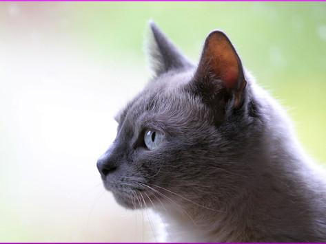 Toxoplasmose bei der Katze und ihre Gefahr für Schwangere