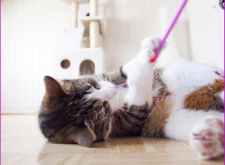Richtig Spielen mit den Katzen