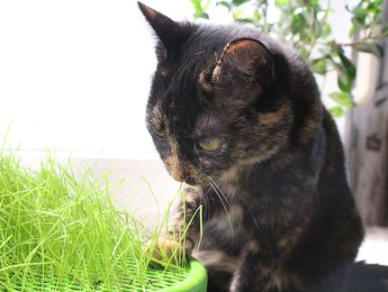 Wofür brauchen Katzen eigentlich Katzengras?