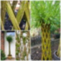 Living willow.jpg