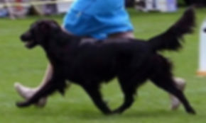 Radford Flat Coated Retrievers