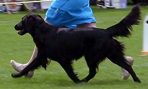 Radford Flat Coated Retrievers, Radford Autumn's Eve, Flatcoat