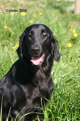 Radford Flat Coated Retrievers, Flat-Coated Retriever