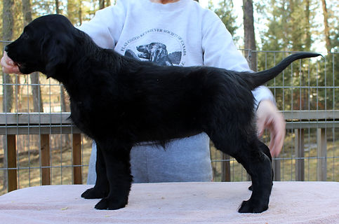 Radford Flat Coated Retriever, Flatcoat, Flat-Coat