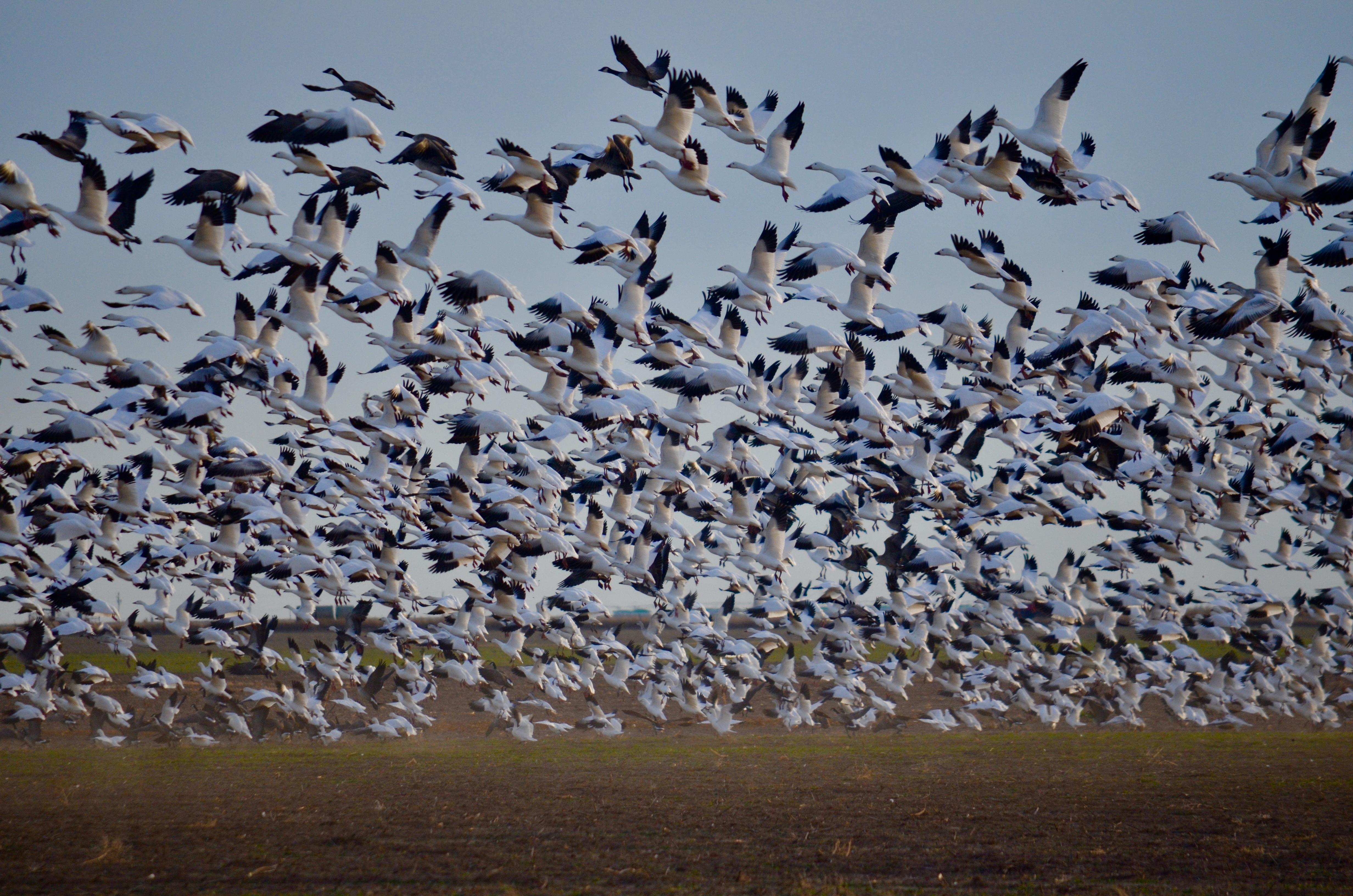 Geese/Ducks