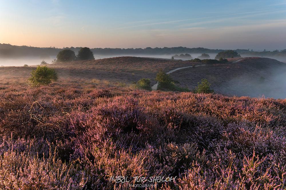 פריחת האברש הסגולה בזמן זריחה De Hoge Veluwe National Park