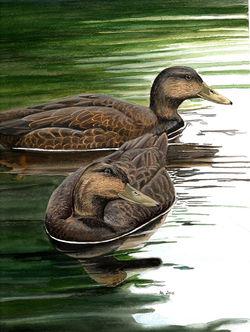 Algonquin park Black Ducks