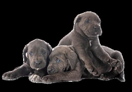 puppies-cane-corso-6MGEEB3_edited.png