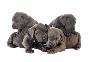 puppies-cane-corso-4YUSR48_edited.png
