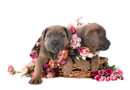 puppies-cane-corso-HYW5HUY_edited.png