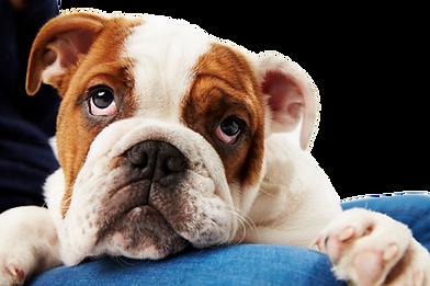studio-shot-of-british-bulldog-puppy-wit