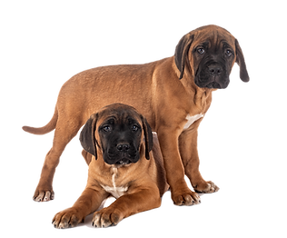 puppies-cane-corso-UPAD2ZD_edited.png
