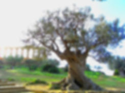 olivo-agrig-AG.jpg