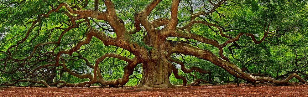 angel-oak-tree-wallpapers-hd-68356-53126
