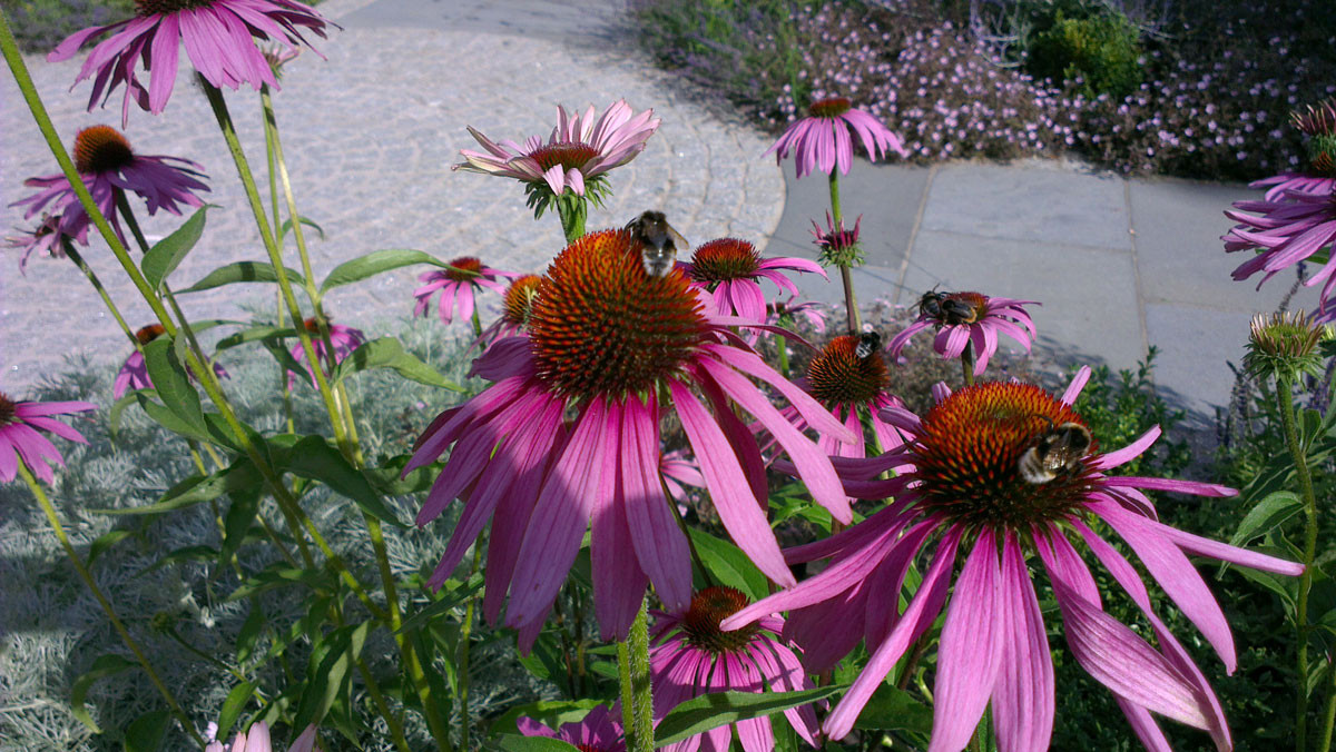 Planting-4-echinacea-quercus-garden-desi