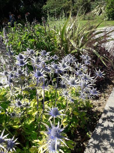 Planting-2-eryngium-quercus-garden-desig