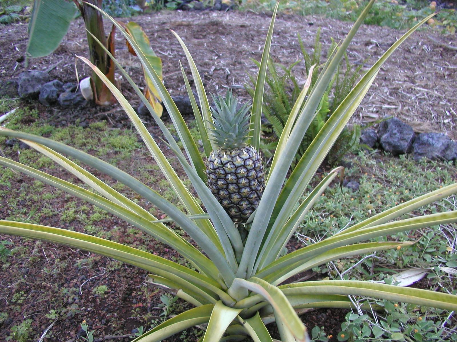 Fruits-Plants (11).jpg