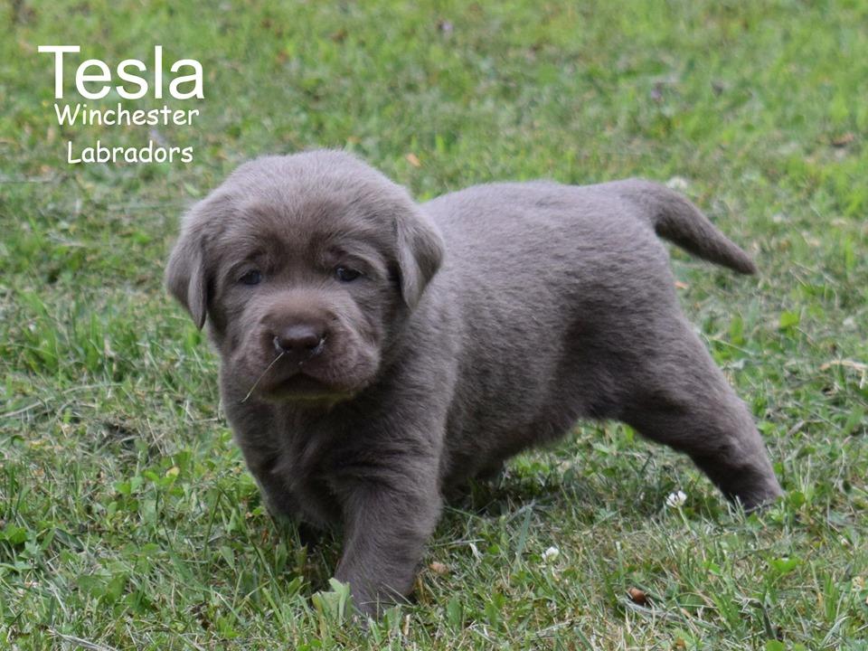 Puppies | winchesterlabradors