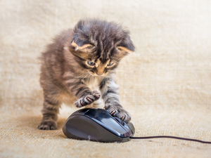 A little kitten is played with a computer mouse. Cat caught a mouse.