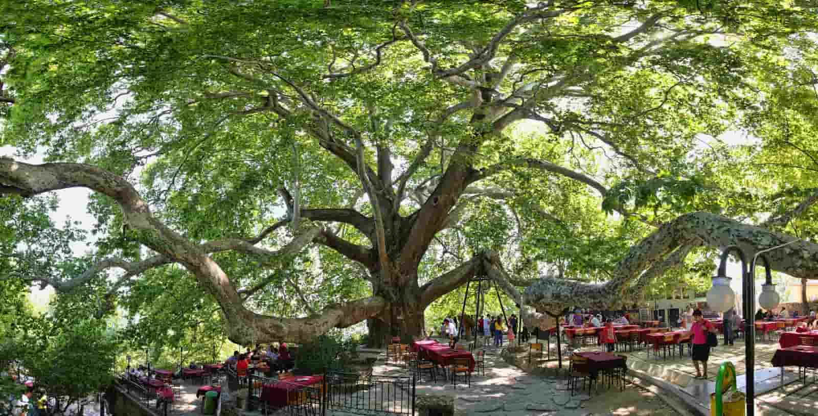600 years old Plane Tree