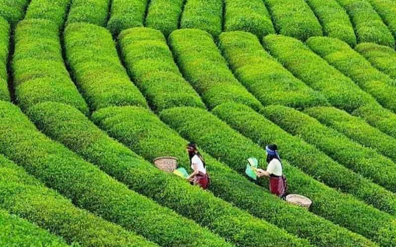 Tea Gardens Trabzon