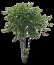 T1_081_ニワウルシ_Ailanthus-altissima.png