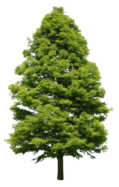 2t16_メタセコイヤ_Dawn-Redwood-.png