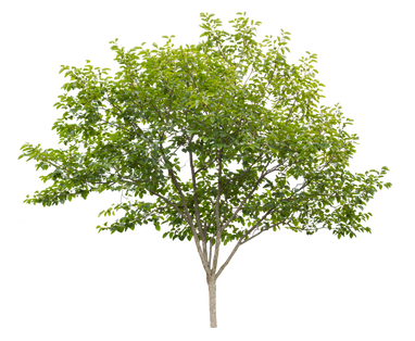 2t41_カキ_Persimmon-tree.png