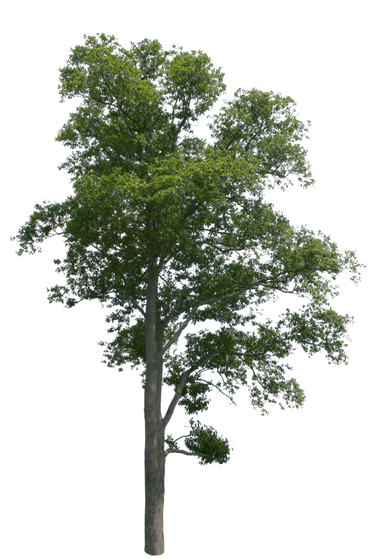 T1_067_アキニレ_Ulmus-parvifolia.png