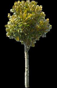2t08_タイサンボク_Southern-magnolia-.png