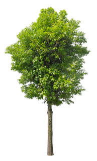 2t26_シラカシ_Bamboo-leafed-oak.png